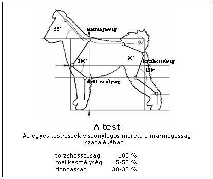 A pumi teste - arányok
