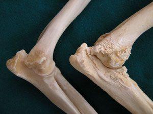 Egészséges és könyökízületi diszpláziás kutya csontja