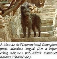 Az első International Champion pumi