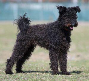 kutya genetika, fekete pumi